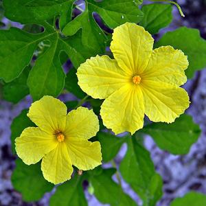 Momordica Charantia fiori